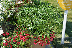 Baby Tut Umbrella Grass (Cyperus involucratus 'Baby Tut') at Snavely's Garden Corner