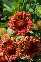 Fanfare Blaze Blanket Flower (Gaillardia x grandiflora 'Fanfare Blaze') at Snavely's Garden Corner