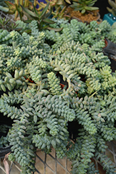 Burro's Tail (Sedum morganianum) at Snavely's Garden Corner