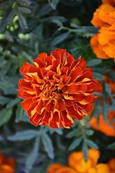 Durango Red Marigold (Tagetes patula 'Durango Red') at Snavely's Garden Corner