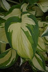 Vulcan Hosta (Hosta 'Vulcan') at Snavely's Garden Corner