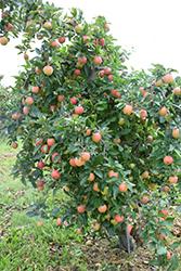 Gala Apple (Malus 'Gala') at Snavely's Garden Corner