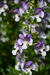 Angelface® Wedgewood Blue Angelonia (Angelonia angustifolia 'Angelface Wedgewood Blue') at Snavely's Garden Corner