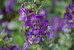 Angelface® Blue Angelonia (Angelonia angustifolia 'Angelface Blue') at Snavely's Garden Corner