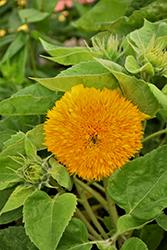 Teddy Bear Annual Sunflower (Helianthus annuus 'Teddy Bear') at Snavely's Garden Corner