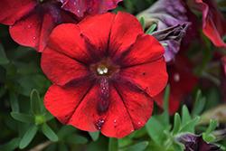 Crazytunia Red Blues Petunia (Petunia 'Crazytunia Red Blues') at Snavely's Garden Corner