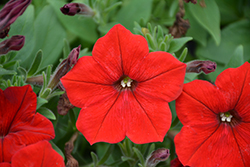 Easy Wave Red Petunia (Petunia 'Easy Wave Red') at Snavely's Garden Corner