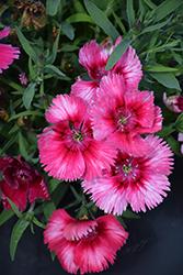 Super Parfait Raspberry Pinks (Dianthus 'Super Parfait Raspberry') at Snavely's Garden Corner