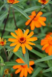 Star Orange Zinnia (Zinnia angustifolia 'Star Orange') at Snavely's Garden Corner