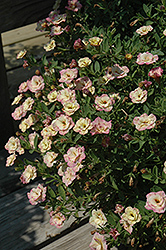 MiniFamous® Double Rose Chai Calibrachoa (Calibrachoa 'MiniFamous Double Rose Chai') at Snavely's Garden Corner