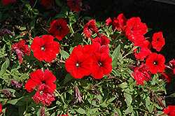Surfinia® Deep Red Petunia (Petunia 'Surfinia Deep Red') at Snavely's Garden Corner
