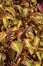 Saturn Coleus (Solenostemon scutellarioides 'Saturn') at Snavely's Garden Corner