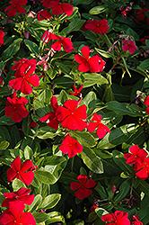 Titan Dark Red Vinca (Catharanthus roseus 'Titan Dark Red') at Snavely's Garden Corner