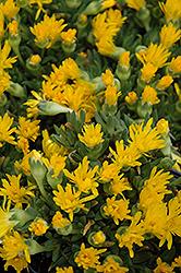 Hardy Ice Plant (Delosperma congestum) at Snavely's Garden Corner