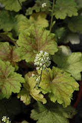 Electra Coral Bells (Heuchera 'Electra') at Snavely's Garden Corner