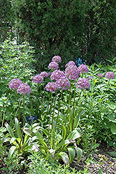 Globemaster Ornamental Onion (Allium 'Globemaster') at Snavely's Garden Corner