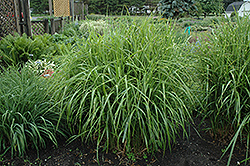 Porcupine Grass (Miscanthus sinensis 'Strictus') at Snavely's Garden Corner