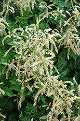 Misty Lace Goatsbeard (Aruncus 'Misty Lace') at Snavely's Garden Corner