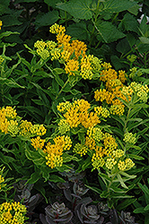 Hello Yellow Milkweed (Asclepias tuberosa 'Hello Yellow') at Snavely's Garden Corner