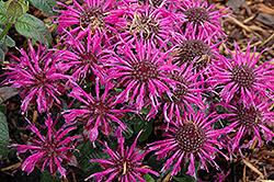 Balmy Purple Beebalm (Monarda didyma 'Balbalmurp') at Snavely's Garden Corner