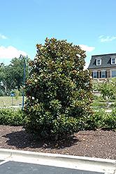Little Gem Magnolia (Magnolia grandiflora 'Little Gem') at Snavely's Garden Corner