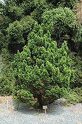 Spiralis Falsecypress (Chamaecyparis obtusa 'Spiralis') at Snavely's Garden Corner