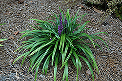 Royal Purple Lily Turf (Liriope muscari 'Royal Purple') at Snavely's Garden Corner