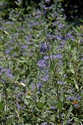Bluebeard (Caryopteris x clandonensis) at Snavely's Garden Corner