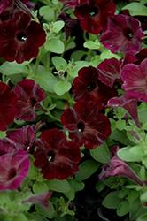 Sweetunia Black Satin Petunia (Petunia 'Sweetunia Black Satin') at Snavely's Garden Corner