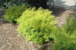 Mellow Yellow Spirea (Spiraea thunbergii 'Mellow Yellow') at Snavely's Garden Corner