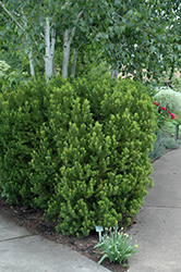 Hicks Yew (Taxus x media 'Hicksii') at Snavely's Garden Corner