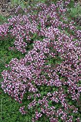 Magic Carpet Thyme (Thymus serpyllum 'Magic Carpet') at Snavely's Garden Corner