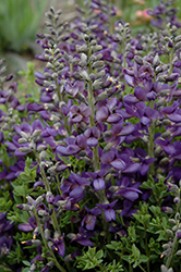 Decadence® Blueberry Sundae False Indigo (Baptisia 'Blueberry Sundae') at Snavely's Garden Corner