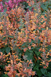 Acapulco Orange Mexican Hyssop (Agastache mexicana 'Acapulco Orange') at Snavely's Garden Corner