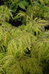 Lemony Lace Elder (Sambucus racemosa 'SMNSRD4') at Snavely's Garden Corner
