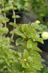 All That Glows Viburnum (Viburnum dentatum 'SMVDBL') at Snavely's Garden Corner