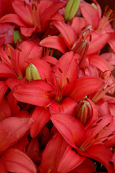 Tiny Toons Lily (Lilium 'Tiny Toons') at Snavely's Garden Corner