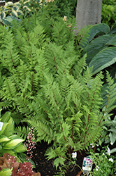 Lady in Red Fern (Athyrium filix-femina 'Lady in Red') at Snavely's Garden Corner