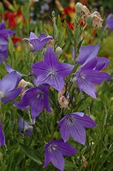 Fuji Blue Balloon Flower (Platycodon grandiflorus 'Fuji Blue') at Snavely's Garden Corner