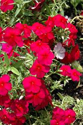 Phloxy Lady Cherry Red Annual Phlox (Phlox 'Phloxy Lady Cherry Red') at Snavely's Garden Corner