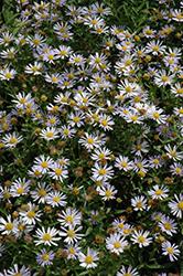 Blue Star Japanese Aster (Kalimeris incisa 'Blue Star') at Snavely's Garden Corner
