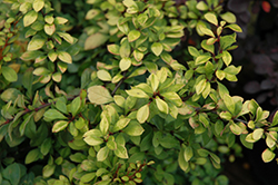 First Editions® Daybreak Japanese Barberry (Berberis thunbergii 'First Editions Daybreak') at Snavely's Garden Corner
