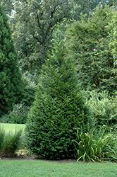 California Incense Cedar (Calocedrus decurrens) at Snavely's Garden Corner