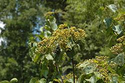 Michael Dodge Viburnum (Viburnum dilatatum 'Michael Dodge') at Snavely's Garden Corner