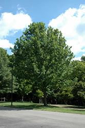 Overcup Oak (Quercus lyrata) at Snavely's Garden Corner