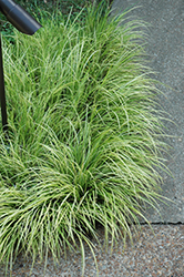 Grassy-Leaved Sweet Flag (Acorus gramineus 'Ogon') at Snavely's Garden Corner
