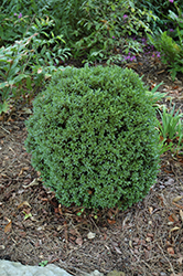 Justin Brouwers Boxwood (Buxus sinica 'Justin Brouwers') at Snavely's Garden Corner