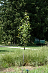 Armstrong Gold Red Maple (Acer rubrum 'JFS-KW78') at Snavely's Garden Corner