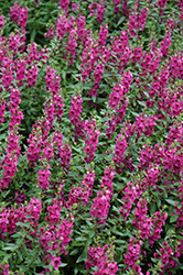 Archangel™ Raspberry Angelonia (Angelonia angustifolia 'Archangel Raspberry') at Snavely's Garden Corner