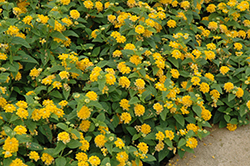 Little Lucky Pot Of Gold Lantana (Lantana camara 'Little Lucky Pot Of Gold') at Snavely's Garden Corner